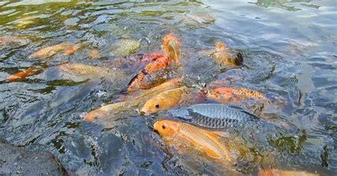 Pelung Untuk Mancing Ikan Baronang warta pancing pelet umpan terbaik untuk mancing ikan