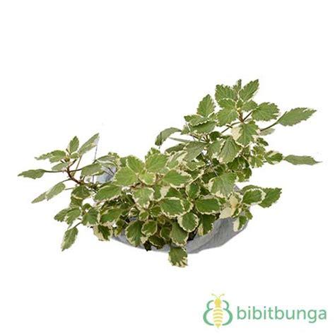 Sirih Gading Variegata Rimbun tanaman swedish begonia variegata bibitbunga