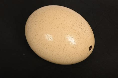 how much is an ostrich egg reading museum