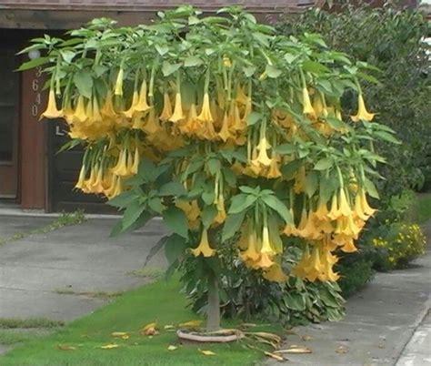 angel trumpet beautiful flowers trees pinterest