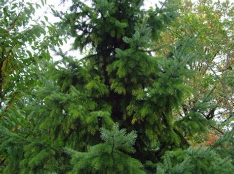 types of evergreen trees types of everything