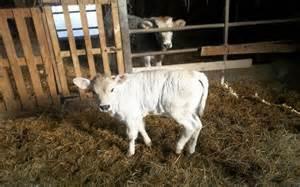 Bibit Anak Sapi panduan umum ternak sapi potong