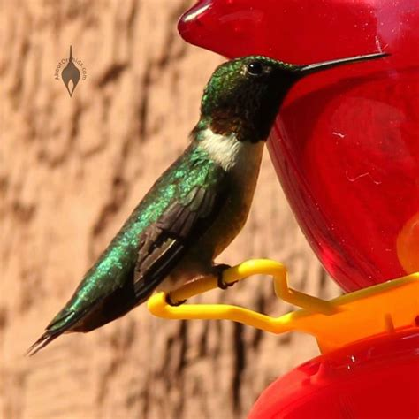 hummingbird on a feeder in pennsylvania hummingbirds