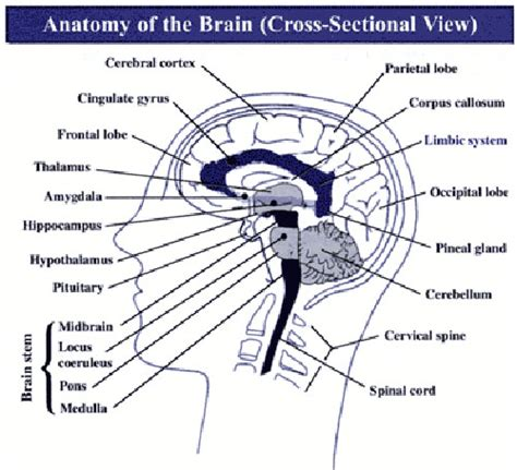 Four Sections Of The Brain by 4 Parts Of The Brain Pictures To Pin On Pinsdaddy