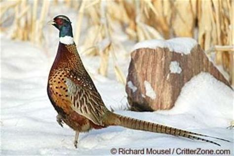 state bird of south dakota south dakota state bird chinese ring necked pheasant
