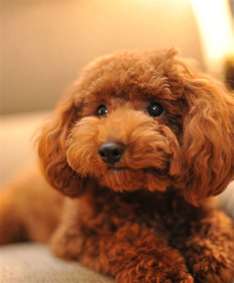 small poodle lifespan smallest breed