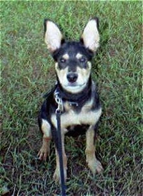 rat terrier rottweiler mix mixed breed pictures with bios 11