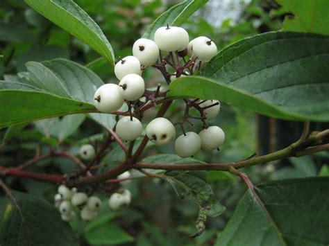 white berries cornus alba siberian dogwood fruits on trees pinterest plants shrub and gardens