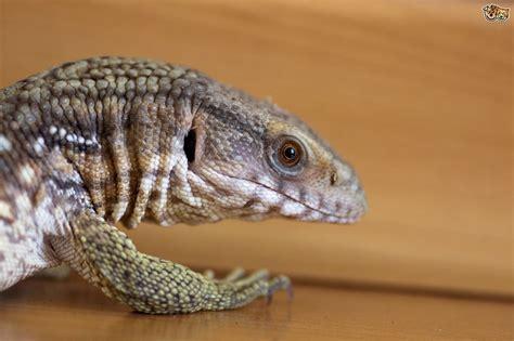 pet reptiles lizards amazing wallpapers
