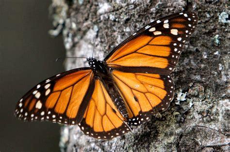 monarch butterfly migration of monarch butterflies shrinks again under