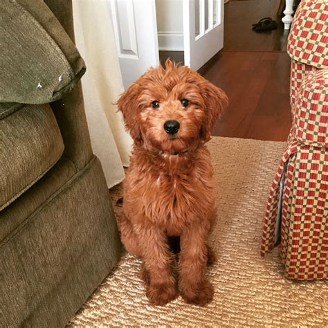 goldendoodle puppy growing up medium f1b goldendoodle goldendoodles f1b