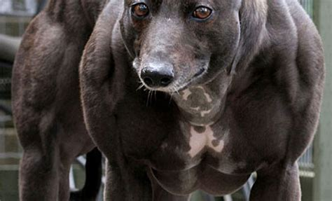 muscular dogs most muscular quotes