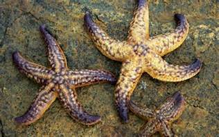 wallpapers starfish wallpapers