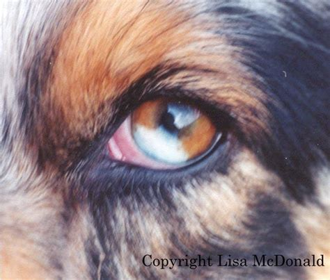 puppy eye color puppy eye color 28 images heterochromia in cats and dogs gt freeyork the most