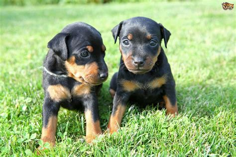 pinscher puppies miniature pinscher breed information buying advice photos and facts pets4homes
