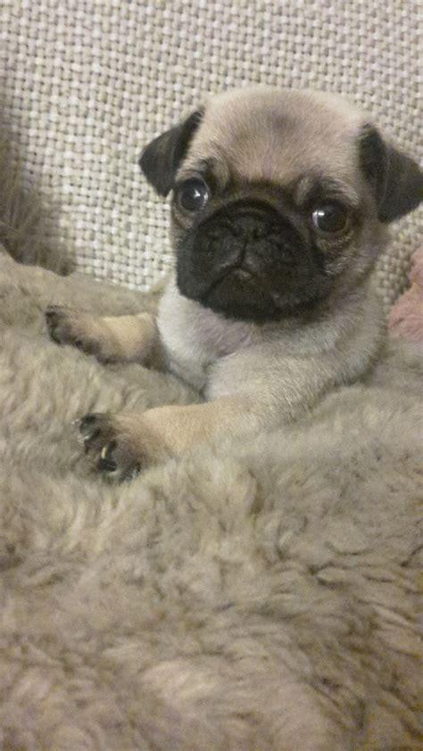 pug boy boy pug puppy liverpool merseyside pets4homes