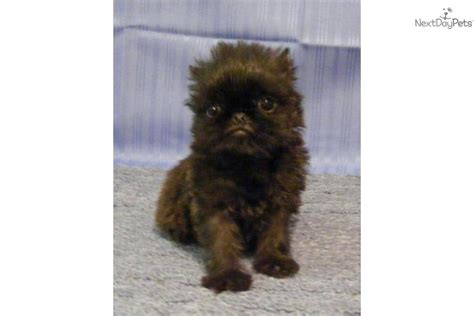 teacup brussels griffon puppies for sale meet a brussels griffon puppy for sale for 1 000 akc blossom 2 microteacup