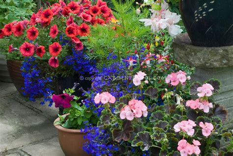 annual plants in container garden plant flower stock