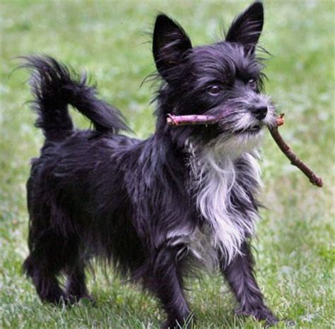 cairn yorkie cairn yorkie mix cairn terrier yorkie mix cairn terrier poodle mix cairn terrier