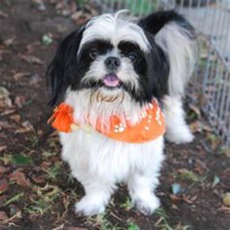 japanese chin x shih tzu japanese chin shih tzu mix just like kipper so wish we could get another one in