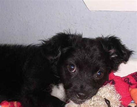 borgi puppies for sale pups quotes like success