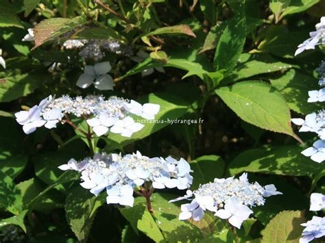 Flur Deckenle by Hydrangea Serrara Blue Deckle