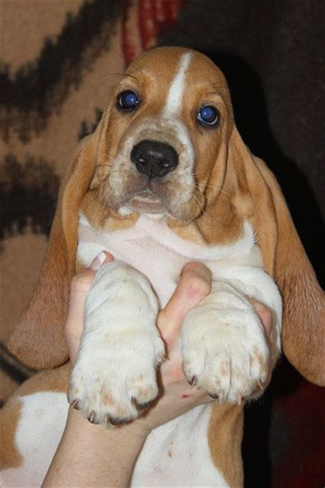 how much are basset hound puppies the world s catalog of ideas