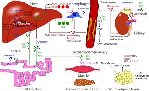 Vitamin Vibrion A Of The Bile Salt Receptor Fxr In Atherosclerosis
