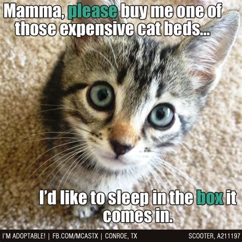 Cute Kitty Memes - 47 best images about cute kitten memes on pinterest cats