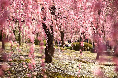 20 Of The Best Pictures Of This Year S Japanese Cherry Japanese Cherry Blossom Flower