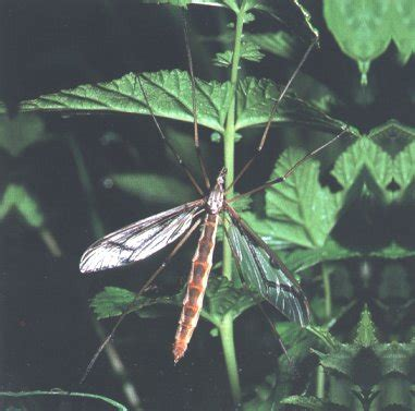 tipula oleracea tipulas tipulas  vida nos rios galegos os insectos