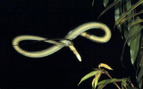 serpenti volanti rivelato il segreto dei serpenti volanti