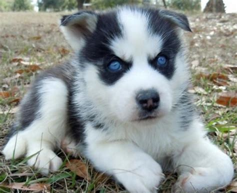 blue eyed puppies husky puppies with blue