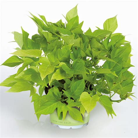 green foliage plants ipomoea sweet light green plants from mr fothergill s