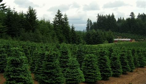 portland christmas tree farm photo albums fabulous homes