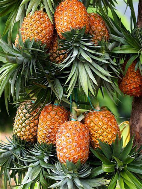 Shoo Daun Waru buah nanas epphione