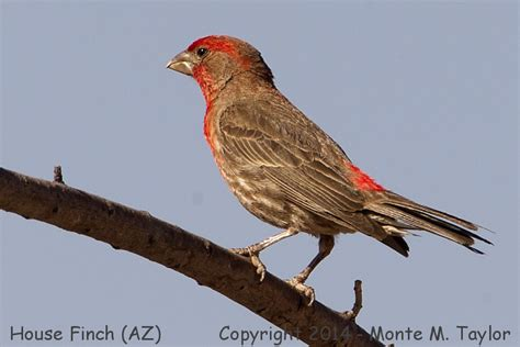house finch arizona house finch