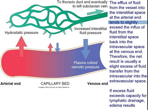 capillary bed definition capillary bed definition 28 images arteriolar definition what is cardiovascular