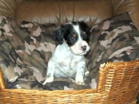 llewellin setter puppies for sale llewellin setter puppies for sale llewellin setter puppies for breeds picture