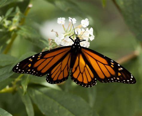 monarch butterfly monarch butterfly state symbols usa