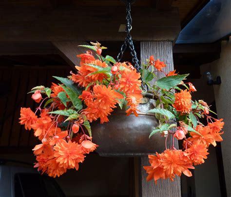 begonia fiore of the season begonia