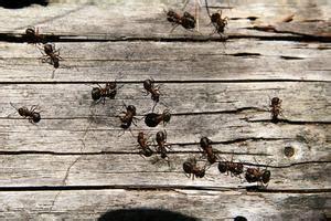 come sterminare le formiche in casa come sbarazzarsi di formiche con terro russelmobley