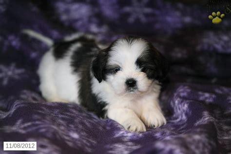 shih tzu for sale in pa image puppy shih tzu for sale puppiesforsaleinpajs54691 jpg novi wiki