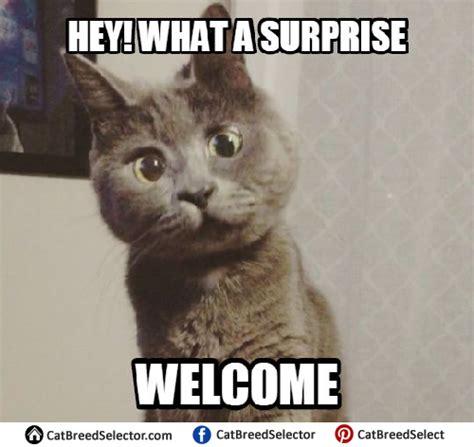 Surprised Cat Meme - cat memes cat breed selector