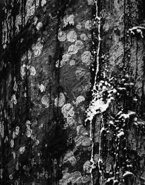 rubber tree st karolina karlic