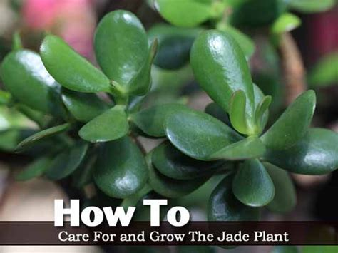 desk plant maintenance helpful tips to care for plants how to care for and grow the jade plant video