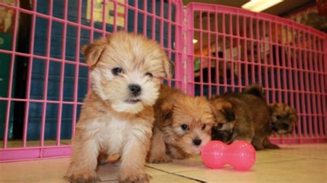 yorkies for sale in atlanta lovely golden yorkie tzu puppies for sale atlanta at puppies for sale local