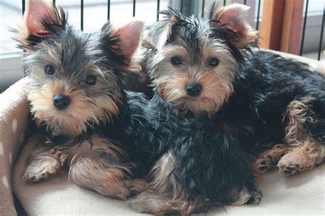 cani adatti per appartamento i 10 cani di piccola taglia pi 249 adatti a vivere in