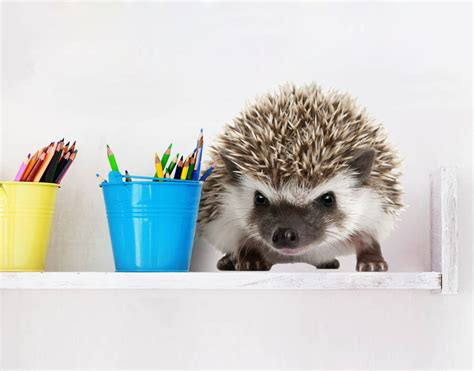 Realistic Wall Murals baby hedgehog wall decal your decal shop nz designer