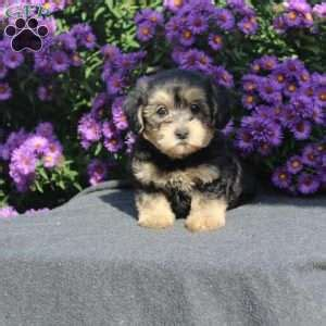 morkie poo puppies for sale morkie poo puppies for sale in de md ny nj philly dc and baltimore